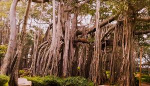 Dodda-alad-mara-big-banyan-tree-bangalore