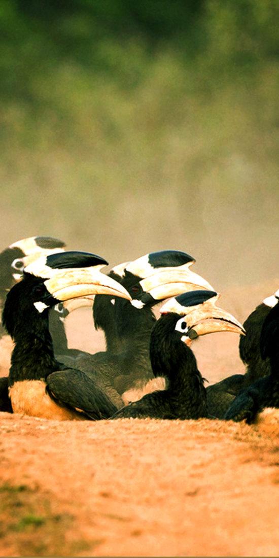 Dandeli Hornbills