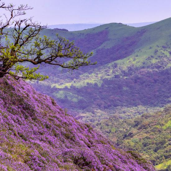 Neelakurinji Blooms, Shivamogga