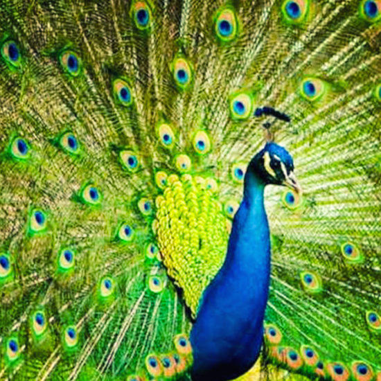 Bankapura Peacock Sanctuary