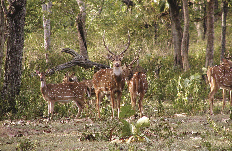 Spotted-Deer-Bandipura