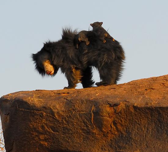Gudekote Sloth Bear Sanctuary separator