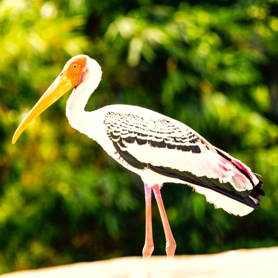 Painted Stork-Ranganathittu Bird Sanctuary