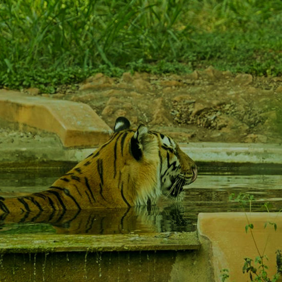 Mysuru Zoo Tiger