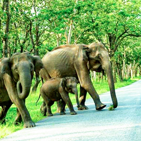 Asiatic Elephants in Bandipur National Park